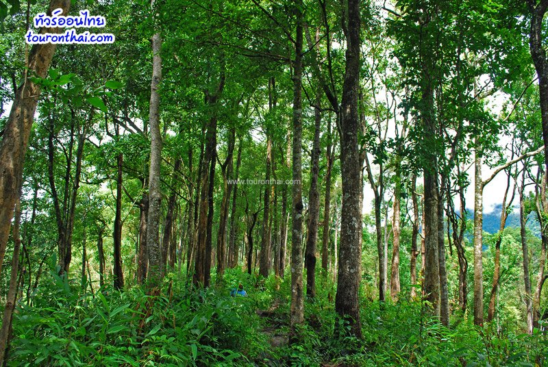 เนินป่าก่อ ราชาแห่งป่าดิบเขา
