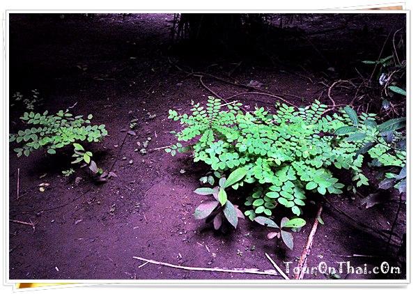 ยมป่า
