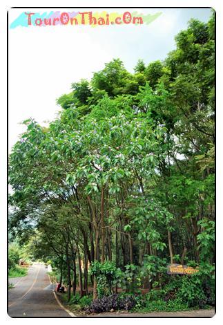 ต้นมะเขือยักษ์
