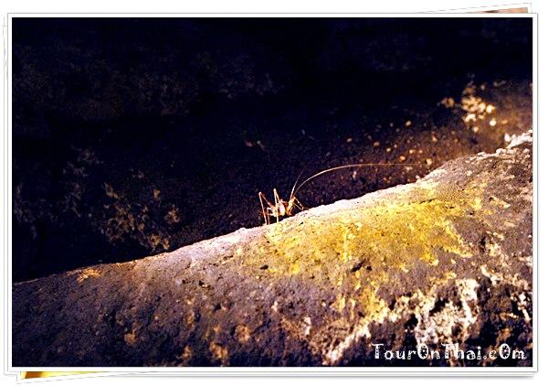 จิ้งหรีดถ้ำ (Cave cricket)