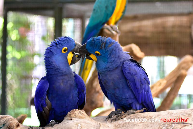 Hyacinthine Macaw นกแก้วไฮยาซีน นกแก้วที่ใหญ่ที่สุดในโลก