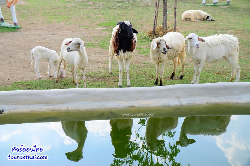 Khonyok Sheep Farm ฟาร์มแกะนครนายก