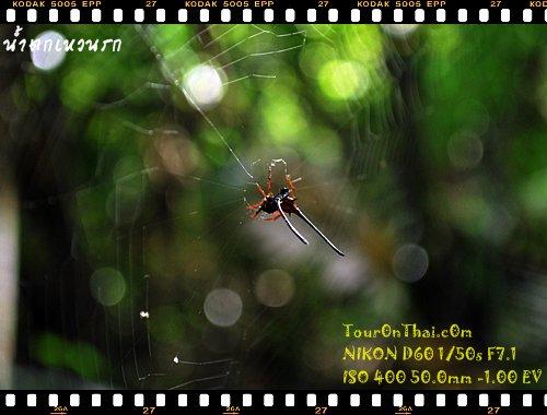 แมงมุมประหลาดเขาใหญ่