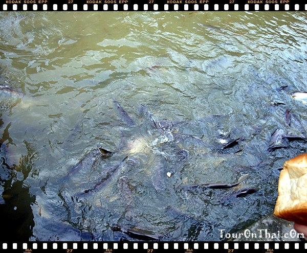 เลี้ยงปลาที่ท่าน้ำวัดบางพระ