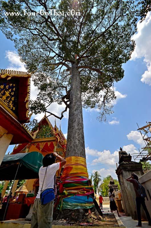 ต้นยางใหญ่