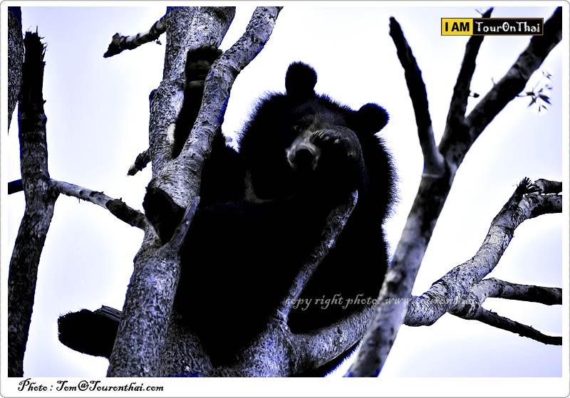 หมีควายตัวน้อย
