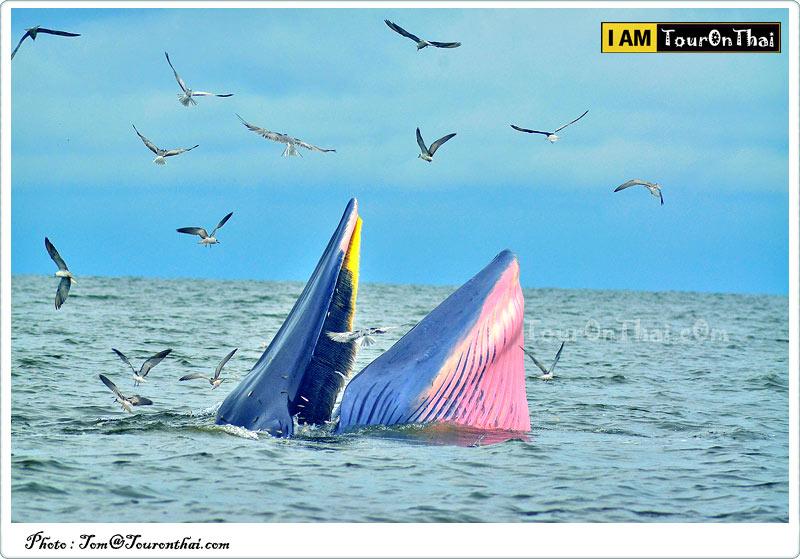 วาฬบรูด้า บางตะบูน