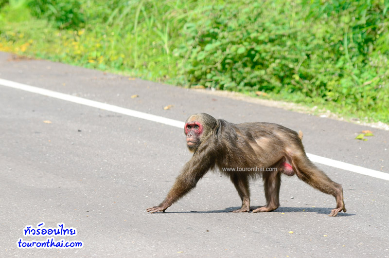 ลิงข้ามถนน