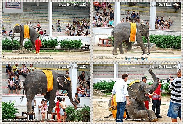 การแสดงช้าง