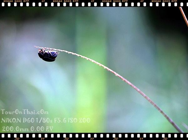 แมลงเกาะยอดหญ้า