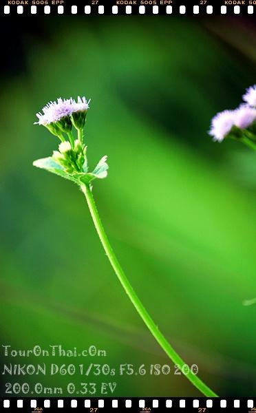 ดอกหญ้าเดียวดาย
