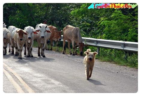 สุนัขเลี้ยงวัวของไทย