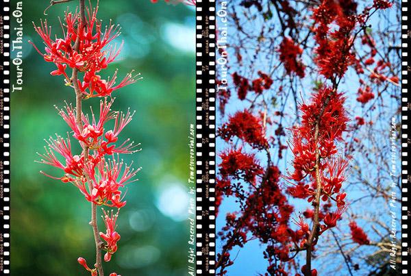 ดอกประดู่แดง