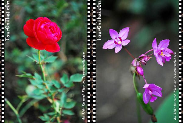 กุหลาบและดอกไม้สวย