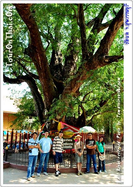 ต้นมะขามยักษ์วัดแค