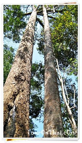 ไม้ใหญ่กลางป่า