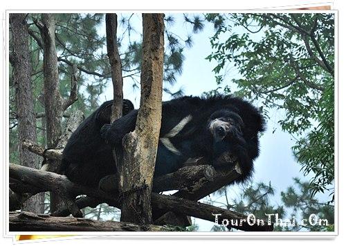 หมีควายบนต้นไม้