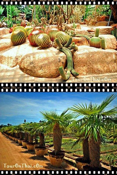 สวนตะบองเพชร และไม้ใบอวบ (Cactus and Succulent Garden)