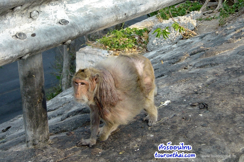 ลิงแก่เขาสามมุข