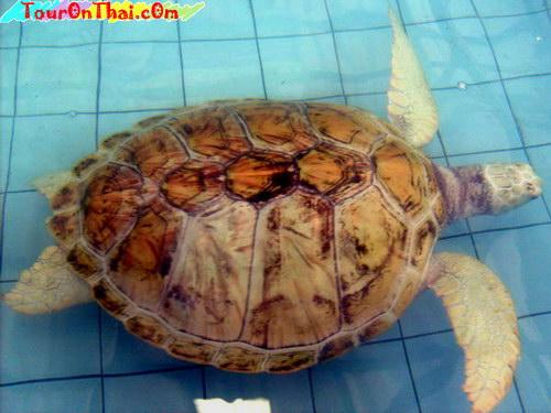 ศูนย์อนุรักษ์พันธุ์เต่าทะเล
