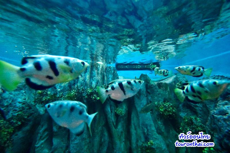 ปลาเสือตอพ่นน้ำ