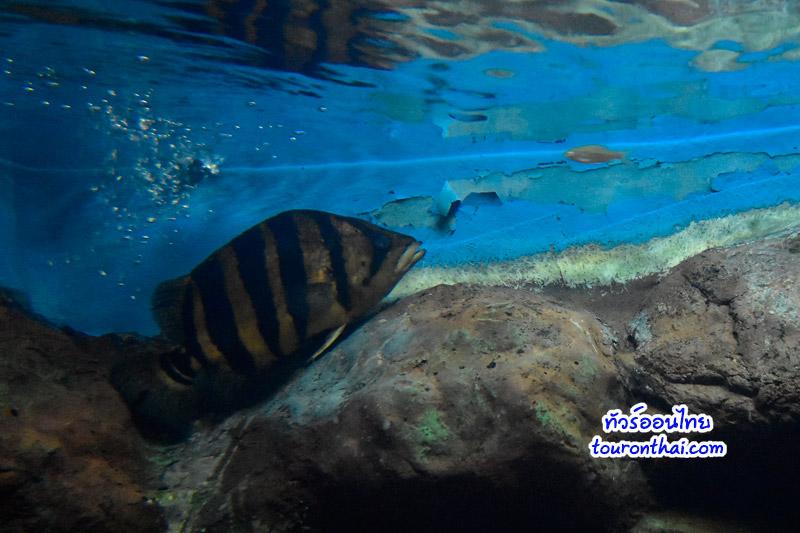 ปลาเสือตอลายใหญ่