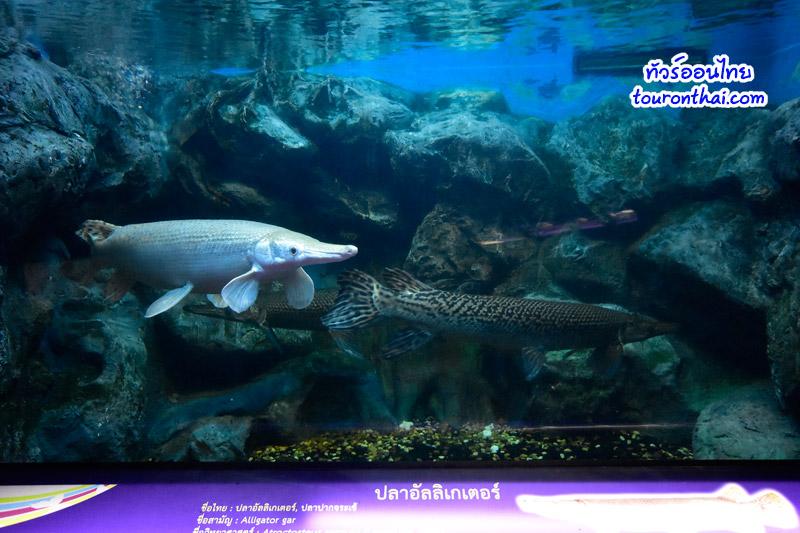 ปลาอัลลิเกเตอร์