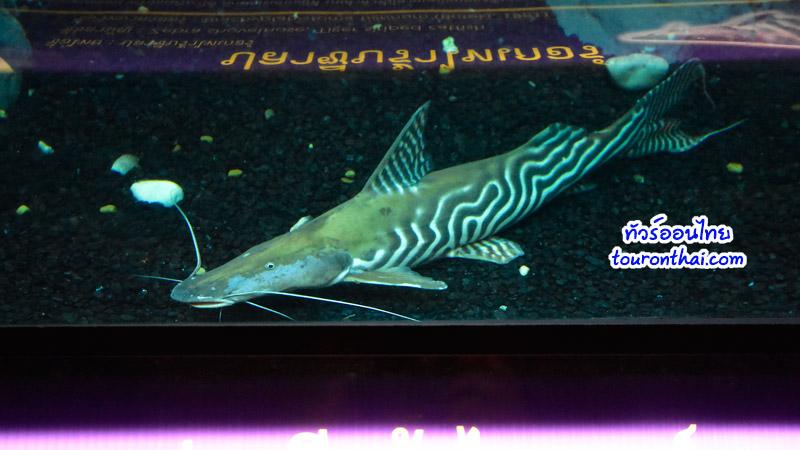 ปลาซีบร้าไทเกอร์