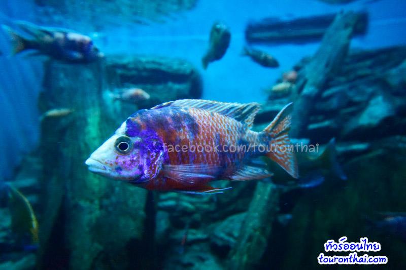 ปลาหมอมาลาวี