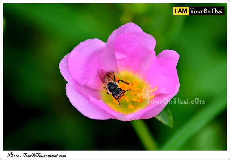 ผึ้งงานกับเกสรดอกไม้