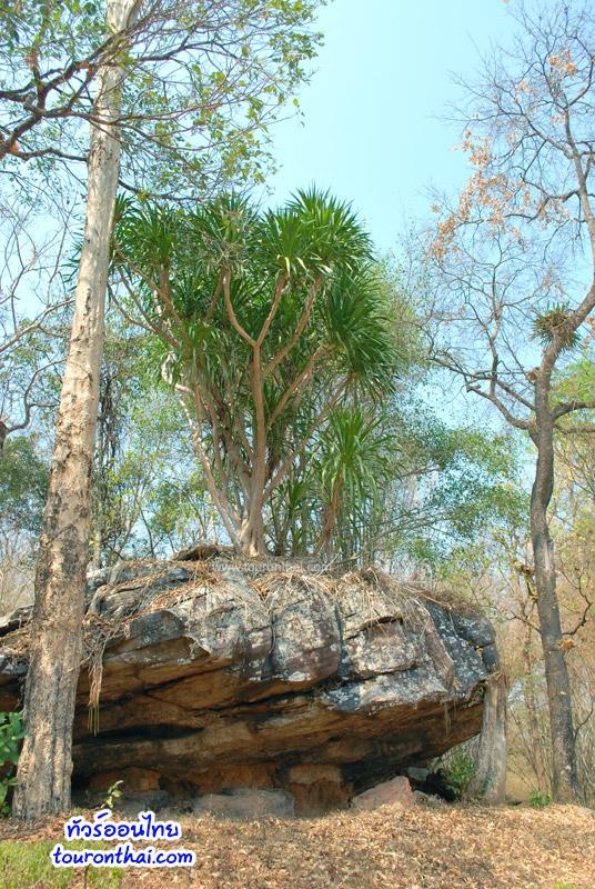 ต้นไม้ขึ้นบนหิน