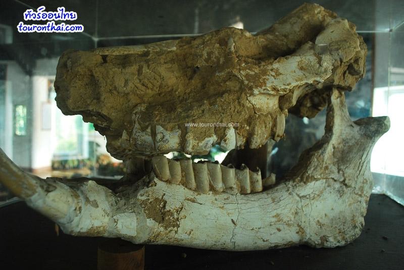 โครงกระดูกหัวไดโนเสาร์