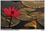 รูปภาพย่อทะเลบัวแดง