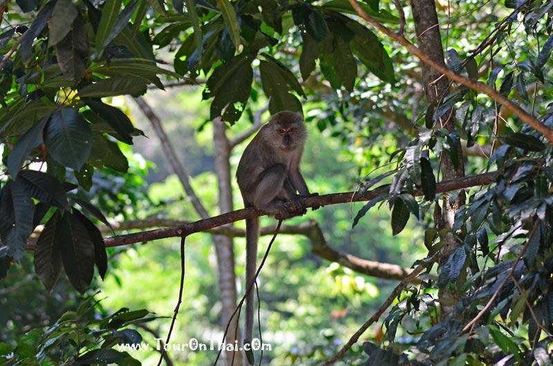 ลิง เกาะราวี